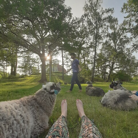 Sheep yoga in Ruissalo