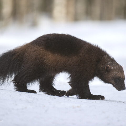 Wolverine photography