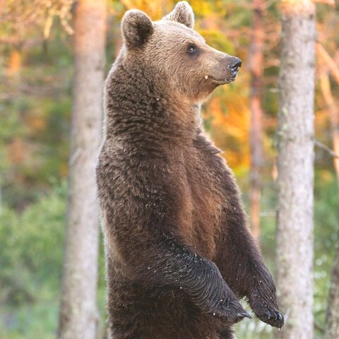 Bear watching night