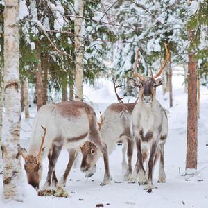 Reindeer Farm Home Visit, Rovaniemi