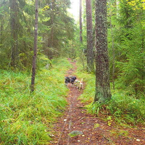 VIRTUAL LIVE Dog walking in Finnish nature