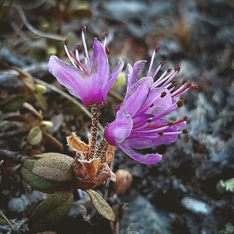 Find the rare arctic plants on the open fells