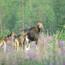 Safari observation des élans