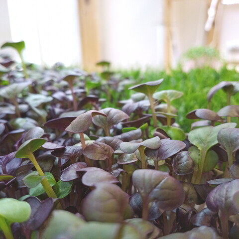 Learn to grow microgreens