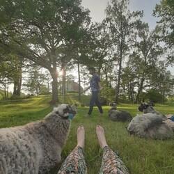 Sheep yoga in Ruissalo