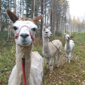 Alpacafarm visit and walk in forest, Kempele