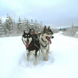 Koiravaljakkoajelua erämaassa. , Juuka