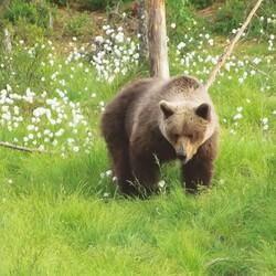 Bear Sauna
