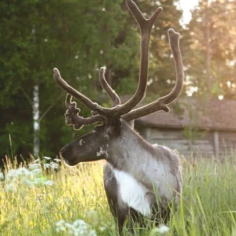 Meet the animals of a small reindeer-/goatfarm