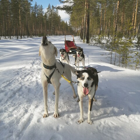 Dogsledding Lieksa
