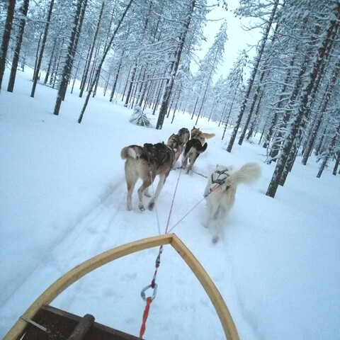 Dog sled safaris in the wilderness.