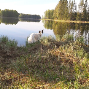 Nature walk with dogs, Laukaa