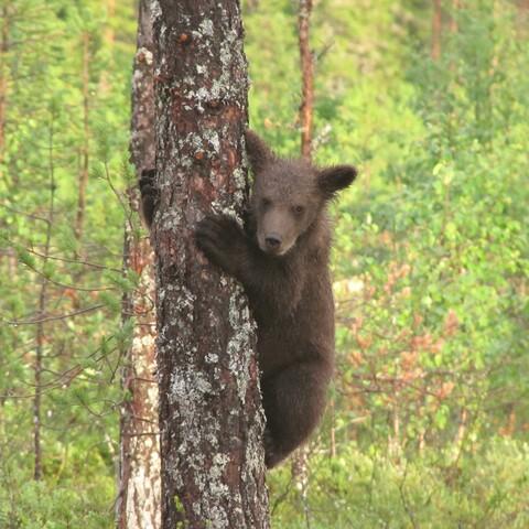 Bear watching at Martinselkonen