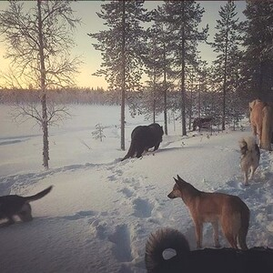 Hiking with dogs and horses, Ylläs