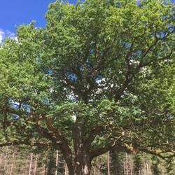 Paavola Oak Tree